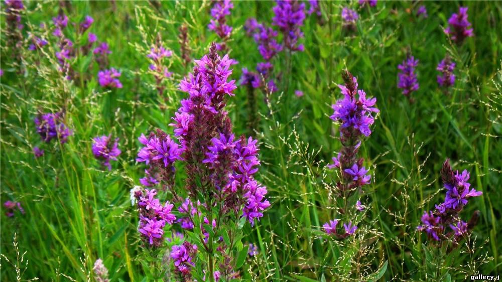 Цветы луговые и название фото